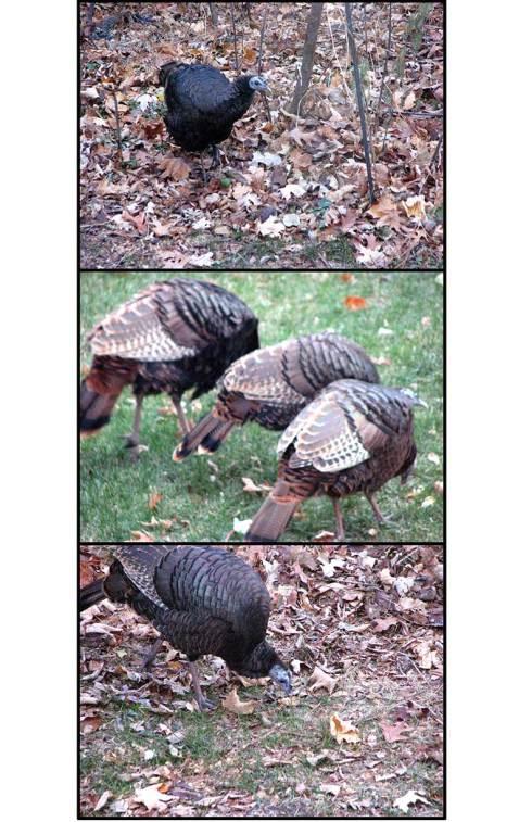 turkeys-web